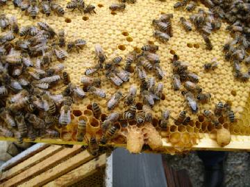 cours apiculture syndicat limousin abeille limousine
