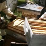 cours du syndicat du limousin l'abeille limousine