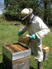 essaimage par division cours syndicat apicole du limousin