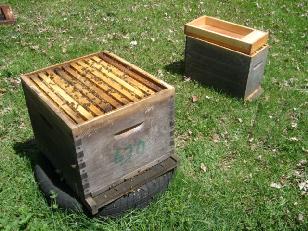 cours apiculture - abeille limousine