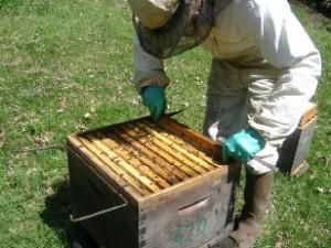 essaimage par division - cours apicole abeille limousine