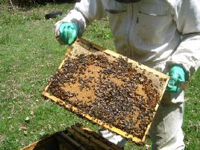 cours syndicat apicole du limousin abeille limousine