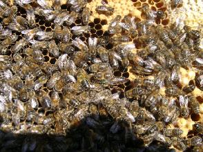 cours de l'abeille limousine apiculture